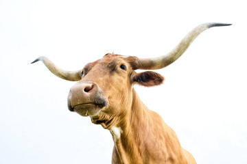 Wall Mural - Texas Longhorn cow isolated on white background.