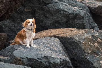 Cute Cavalier King Charles Spaniel enjoys the ocean breeze sitting on the rocks