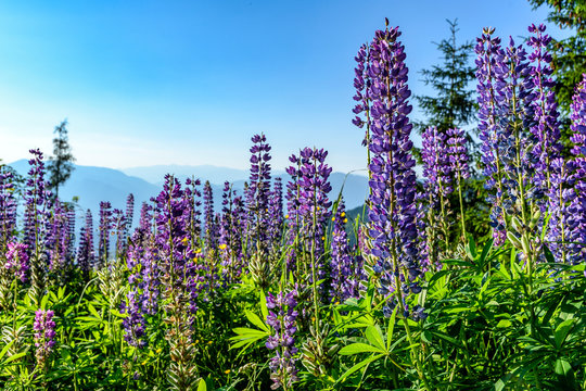 Purple lupine flowers on blue background in the mountains