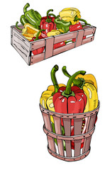 Box and basket with  hand drawn color sweet peppers. Ink and colored sketch. Color elements isolated on white background