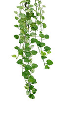 Wall Mural - Hanging pothos or devil's ivy vines liana plant with green and variegated leaves (Epipremnum aureum 'Marble Queen Pothos'), tropical foliage houseplant isolated on white background with clipping path.