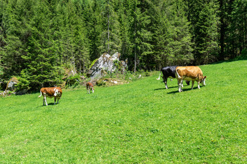Wall Mural - Grazing cows on alpine meadow, Austria, Tyrol Region