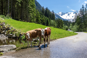 Wall Mural - Calves near water in mountains. Two calves drinking clean water in Alps, Austria, Tyrol Region