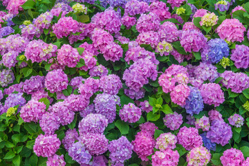 Zelfklevend Fotobehang Hydrangea colorful floral background of pastel pink and blue blooming hydrangea flowers