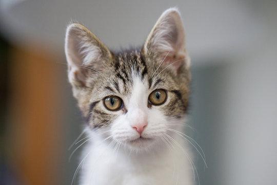Katze Kätzchen Katzenkinder in einer Wohnung schaut direkt in die Kamera