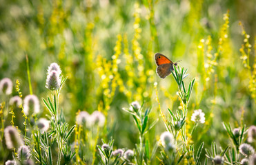 butterfly on wild flower meadow