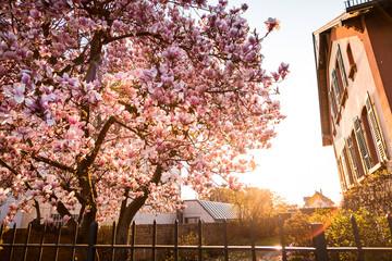 Magnolie im Frühling