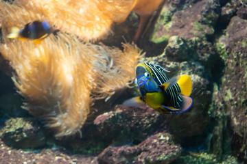 Goldtail angelfish (Pomacanthus chrysurus).