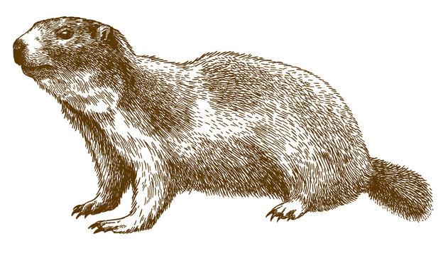 engraving illustration of alpine marmot