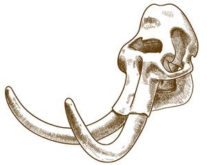 engraving illustration of mammoth skull