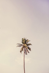 Lonely one tropical exotic coconut palm tree against big blue sky. Neutral background with retro bright punchy yellow and purple colors. Summer and travel concept on Phuket, Thailand.