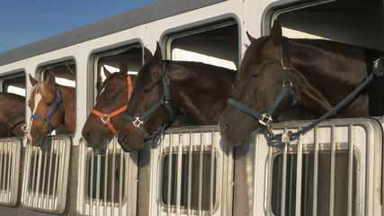 wide shot of several horses in a trailer near quartzite