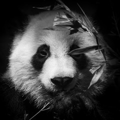 Black and white panda bear portrait