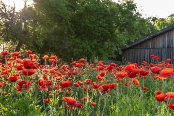 Canvas Prints Poppy Garden of vivid red poppies in morning sunlight