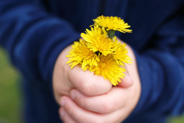 The Hands of a Little Child are Holding a Fresh Picked Bouquet of Dandelion Flowers