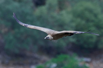 Griffon vulture in flight in its natural habitat