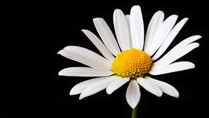 Large Chamomile on a black background with copy space