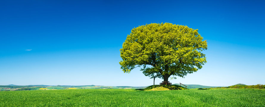 Green Field with solitary Oak Tree under Blue Sky in Spring