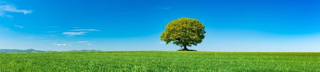 Panorama of Green Field with solitary Oak Tree under Blue Sky in Spring Fotoväggar