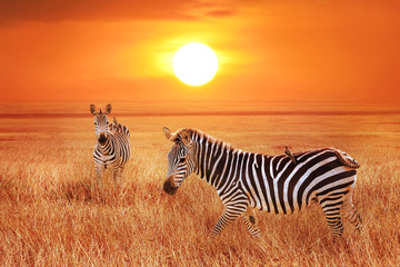 Wall Mural - Zebra at sunset in the Serengeti National Park. Wild life of Africa. Tanzania.