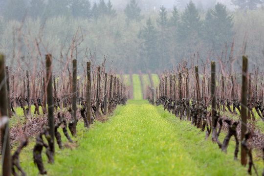 View rows of vine grapes at a vineyard in Oregon of a early spring day