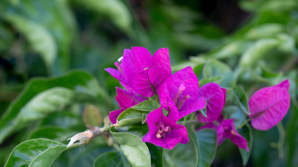 Bougainvillea or buganvilla  with green leaves . Vbrant flowers background for banner