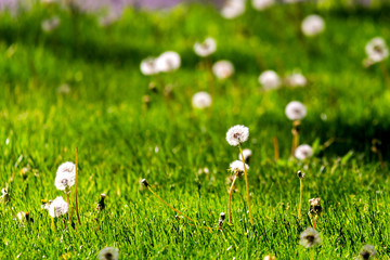 White dandelion on the meadow