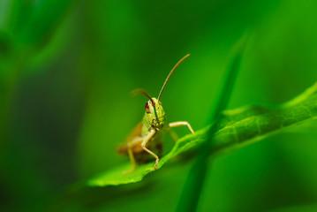 Macro photo of green grasshopper on grass in summer