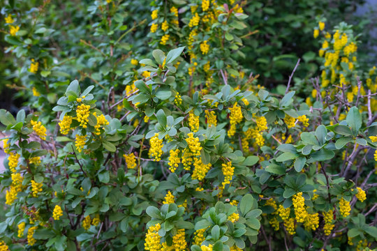 Medicinal plant barberry during flowering in spring. Horizontal photo format.