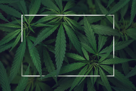 Abstract empty white frame in the leaves of marijuana with copy space