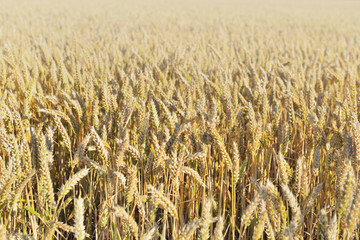 golden ripe wheat growing in a field