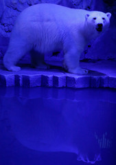 Ursula, a one-year-old female polar bear, walks inside an open-air cage, as illumination is lit on for late visitors to observe animals at night environment, at a zoo in Krasnoyarsk