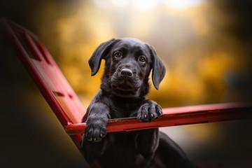 chien labrador croisé sur chaise
