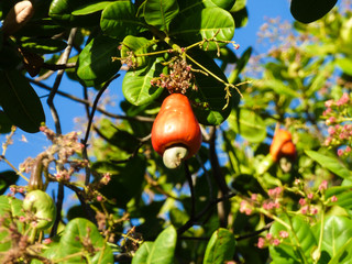 Bright red ripe cashew fruit on the tree - Oeiras, Piaui (Northeast Brazil)