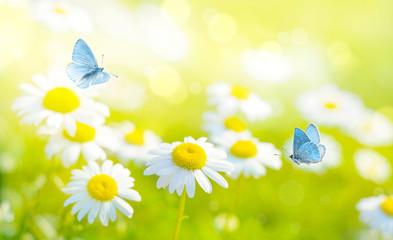 Photo sur Plexiglas Marguerites Flying butterflies on daisy flowers field