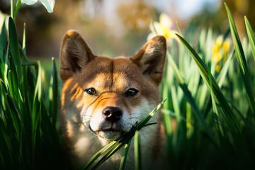 portrait chien shiba inu dans les fleurs jaune