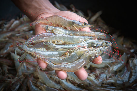 White shrimp placed on hand