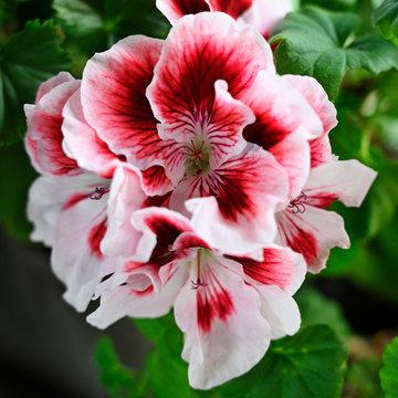 White-red geranium flower in detail.