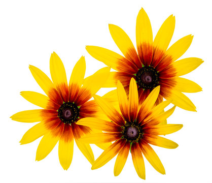 Group of Three Black Eyed Susan Rudbeckia flower isolated on white background