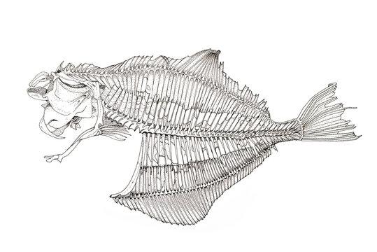 Fisch Skellet zeichnung mit Tusche