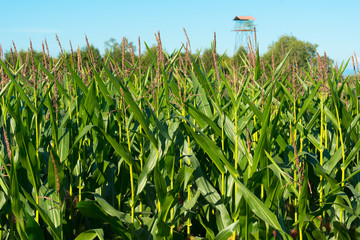 Corn crops at the shores of Lake LLanquihue, X Region de Los Lagos, Chile