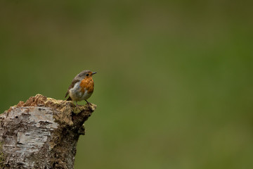 Wall Mural - Robin perched on a log with a green background.