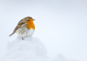 Wall Mural - Robin perched on snow with a white snow background taken in the Cauirngorms National Park, Scotland.
