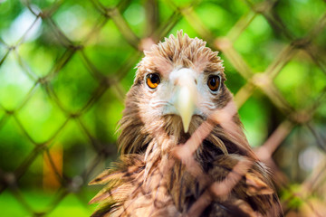Brown eagle in a cage close up.