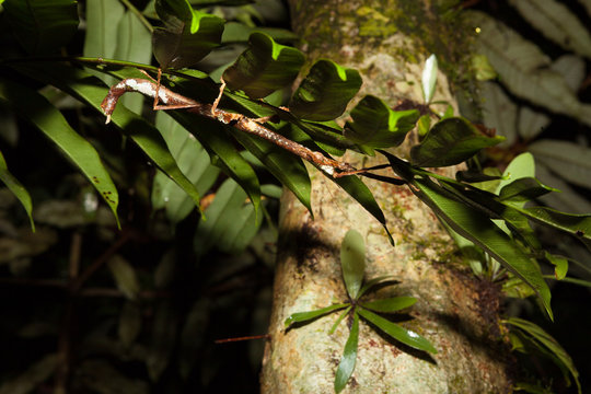 Stick insect at night in rainforest borneo