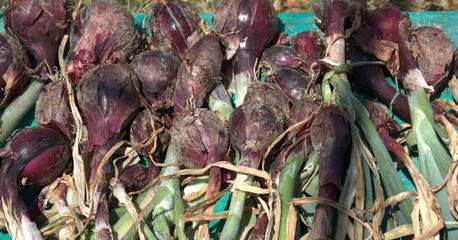 récolte d'oignons rouges au potager bio en été