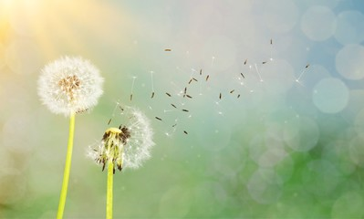 Dandelion with blowing seeds, on  background Wall mural