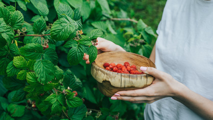 woman pick raspberries in a wooden bowl. green branches of raspberry on background.