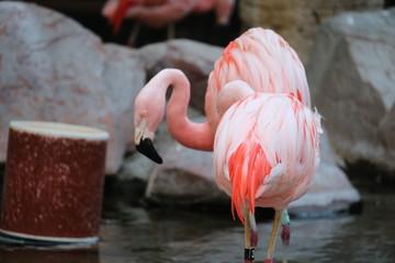 Pink Flamingos in Las Vegas habitat