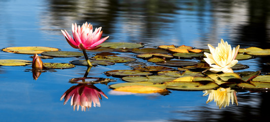 Wall Murals Water lilies Pink and yellow Lotus with leafs water lily, water plant with reflection in a pond against blue ski